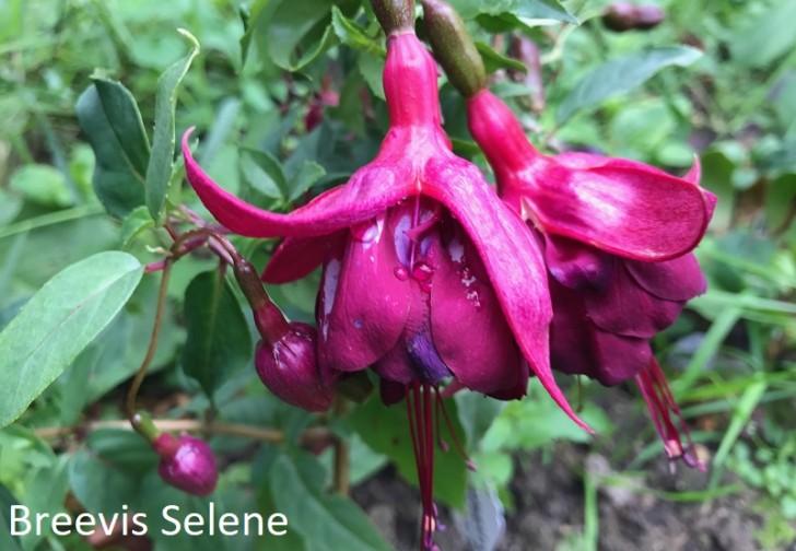Breevis-Selene-fuchsia