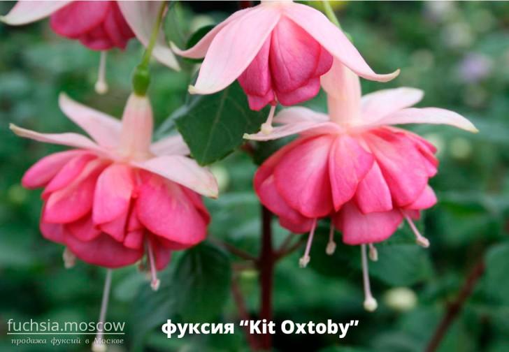 Фуксия сорт Kit Oxtoby