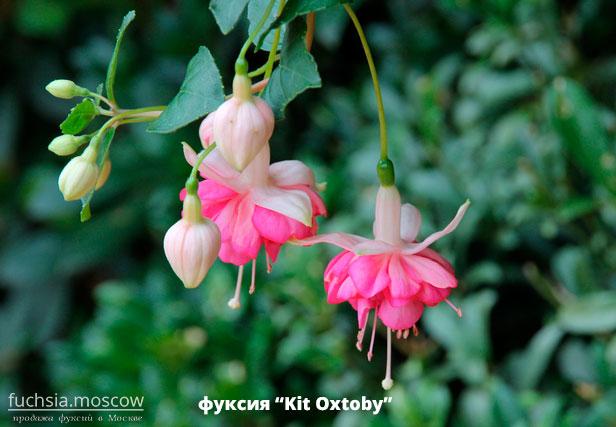 white-rose fuchsia