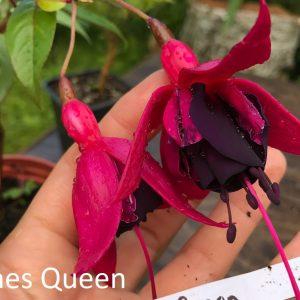 Roches Queen fuchsia