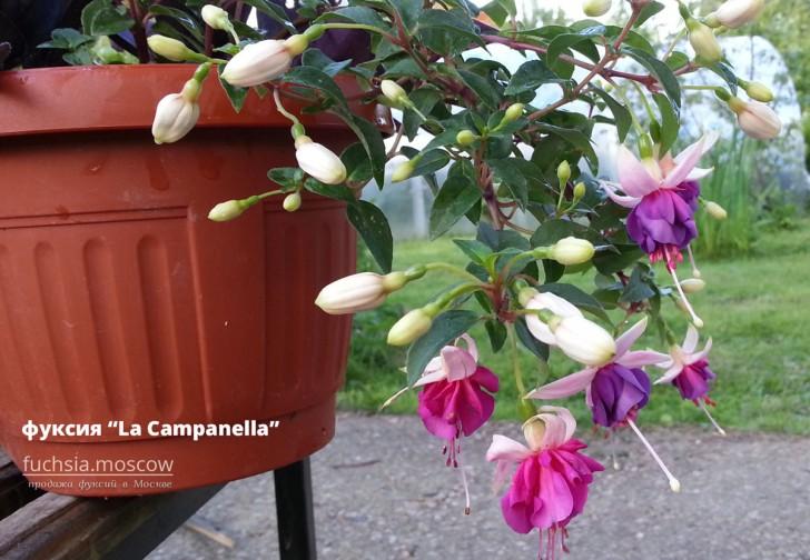 Фуксия La Campanella