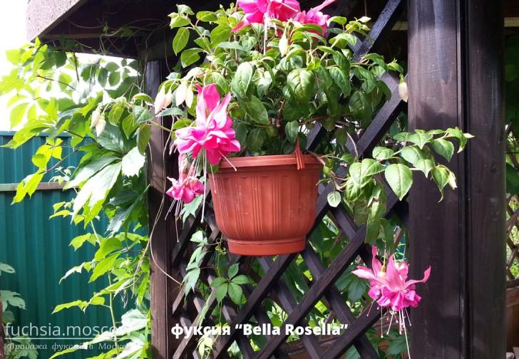 купить Bella Rosella