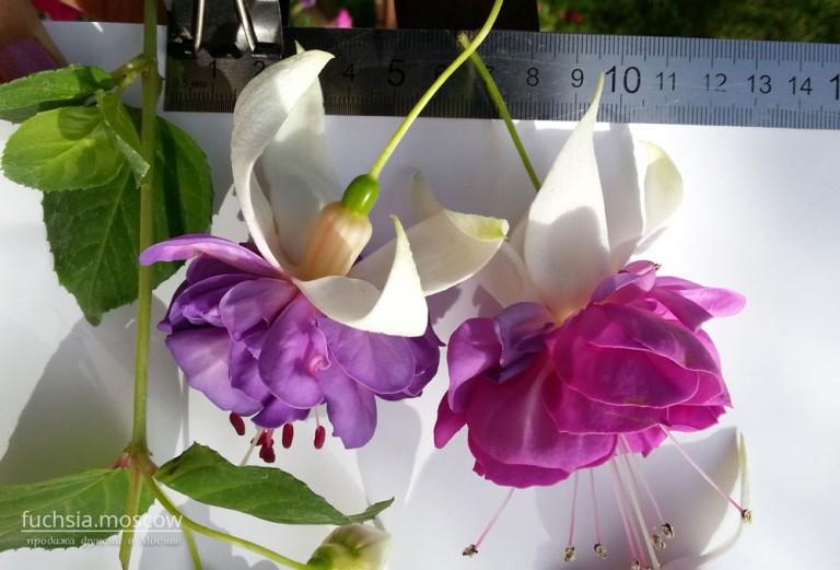 фуксия махровая фиолетовая