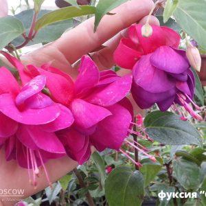 Фуксия кустовая крупноцветковая махровая