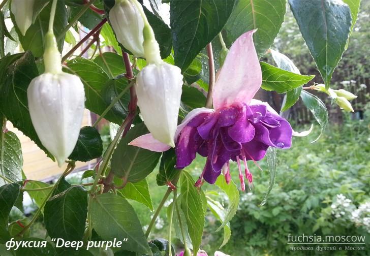 Фуксия сорт deep purple