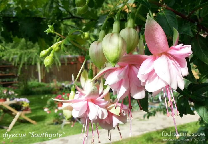 Фуксия розовая