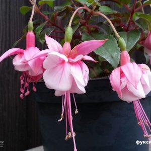 Фуксия махровая ампельная розовая