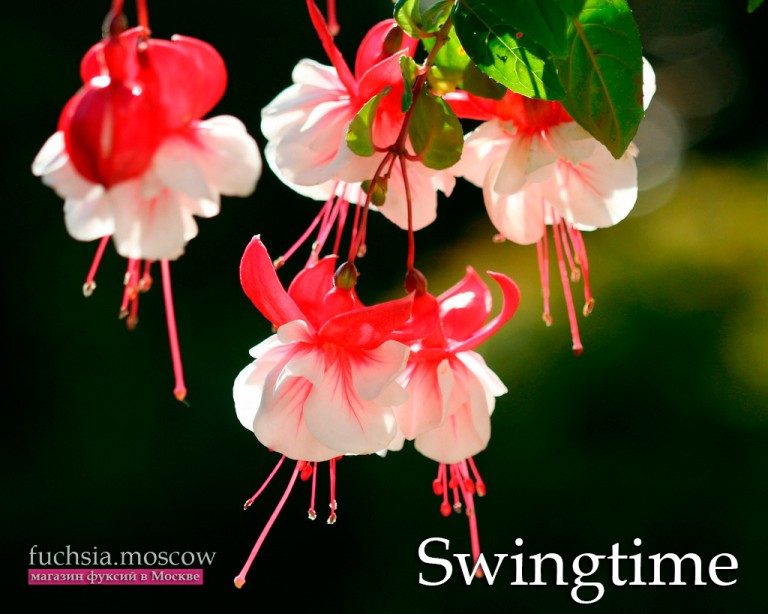 fuchsia_swingtime