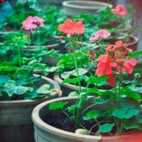 Домашние цветы пеларгонии