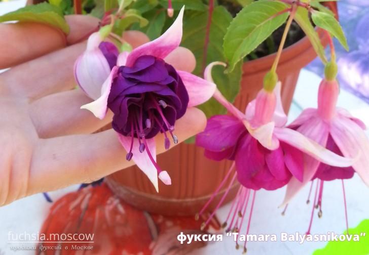 fuchsia Фуксия сорт Tamara Balyasnikova